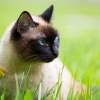 Красивая сиамская кошка в траве
