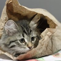 Котёнок залез в бумажный пакет