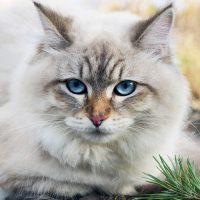 Голубоглазый кот в осеннем лесу