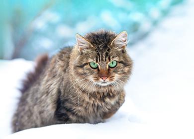 Фото кошки сибирской породы