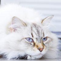 Кот невского маскарадного окраса