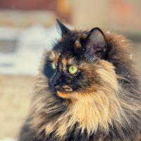 Роскошный черепаховый кот
