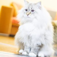 Белый кот окраса колор-пойнт