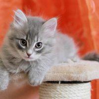 Голубой сибирский котёнок
