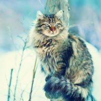 Сибирский кот на зимней прогулке