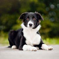Черно-белый щенок бордер колли