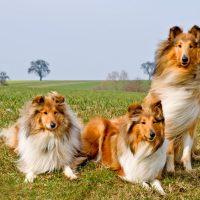 Три красивые шотландские овчарки сидят на лугу