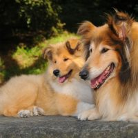 Взрослая колли со своим щенком