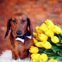 Пёс и жёлтые тюльпаны