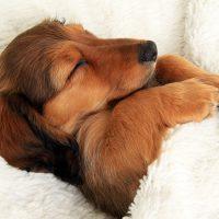 Щенок спит под одеялом