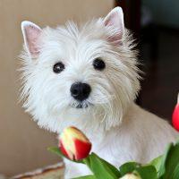 Белый пёсик и тюльпаны