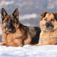 Две взрослые овчарки на снегу