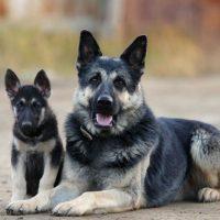 Взрослый и молодой пес породы восточно-европейская овчарка