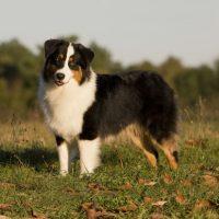 Красивый пес породы австралийская овчарка