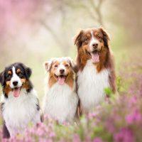 Три австралийские овчарки среди цветов