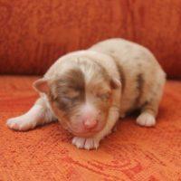 Новорожденный щенок австралийской овчарки