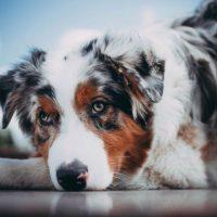 Милейший пес лежит с грустным видом