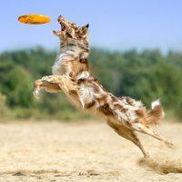 Австралийская овчарка ловит фрисби