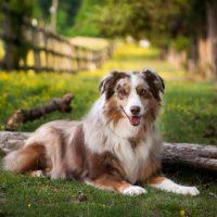 Красивый пес коричнево-белого цвета
