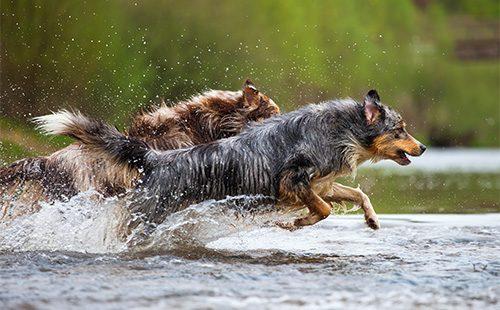 Две австралийские овчарки бегут по воде