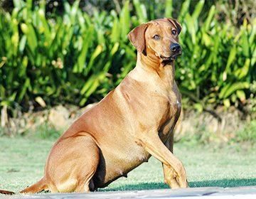 сколько носит беременная собака