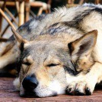 Собака, похожая на волка