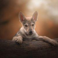 Щенок чехословацкой волчьей собаки
