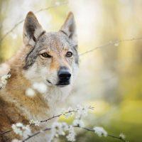 Волк в цветущем кусте