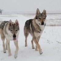 Два волка бредут по полю