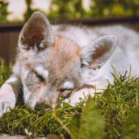 Щенок волкособа спит