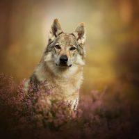 Чехословацкий влчак сидит в траве
