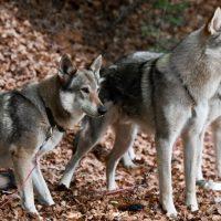 Большие волкоподобные собаки
