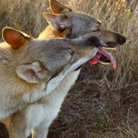 Два волкособа играют на природе