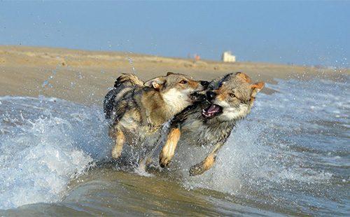 Две собаки, похожие на волка бегут по берегу реки