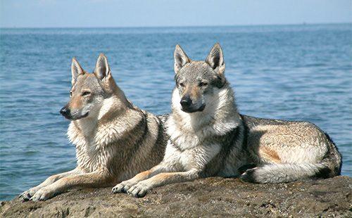 Чехословацкие влчаки на берегу моря