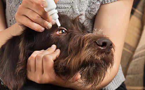 Женщина капает псу в глаза