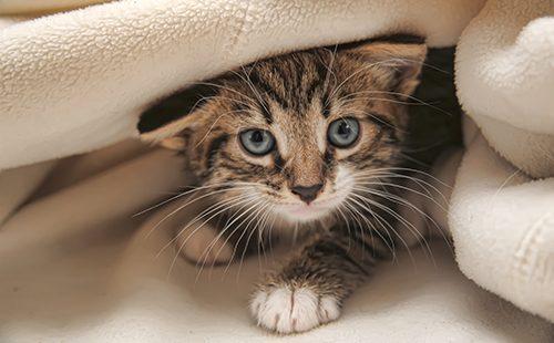 Котёнок прячется под одеялом