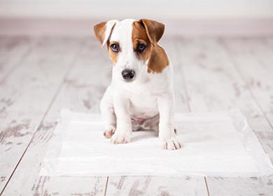 Как отучить собаку писать дома: почему питомец гадит внеположенном месте, накровать или ковер, что делать владельцу, народные ихимические средства