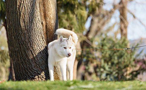 Хаски стоит возле дерева