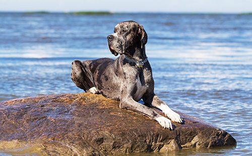 Немецкий дог лежит на камне возле моря