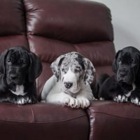 Три щенка лежат на диване