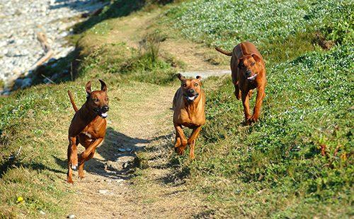 Три бегущие собаки