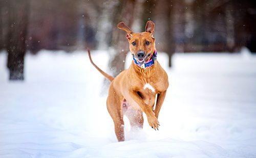 Красивый пёс бежит по снегу
