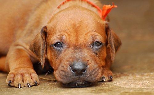 Чудесный рыжий щенок