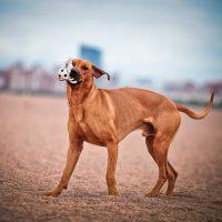 Пёс с мячом на пляже