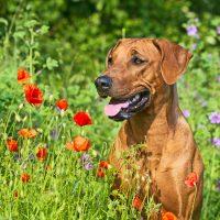 Юный риджбек среди полевых цветов