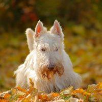 Скотч гуляет на опавших листьях