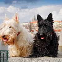 Два терьера на фоне Праги