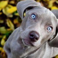 Веймаранер с голубыми глазами