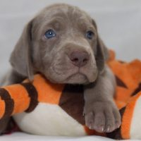 Миленький щенок серого цвета